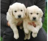 Cuddly Golden Retriever Puppies