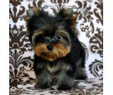 Yorkie Puppies For Sale!!
