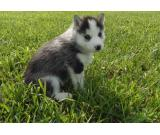 CUTE SIBERIAN HUSKY PUPPIES FOR SALE AT XMAS