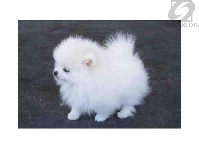 Intelligent White Teacup Pomeranian Puppies for sale Melbourne