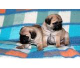 Adorable Pug Puppies For Sale $500