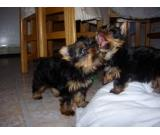 Male And Female Yorkie Pups for adoption