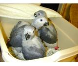 High Quality Pet African Congo Grey Parrots
