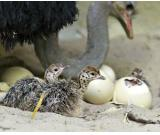 FERTILE OSTRICH AND PARROTS MACAW EGGS AND THEIR CHICKS FOR SALE