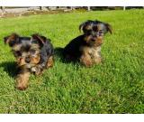 Two gorgeous Yorkie puppies available