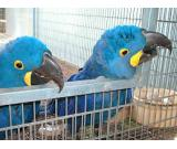 Proven Pair of Hyacinth Parrots for Sale