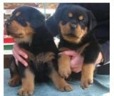 12 weeks old Rottweiler puppies ready for adoption