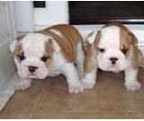 Our beautiful male and female english bulldog puppies are now ready to meet their new loving family.