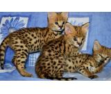Serval , savannah , and Bengal kittens available