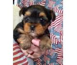 Amazing Teacup Yorkshire Terrier Puppies For Sale Brand new Litters