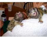 Very Healthy Marmoset Monkeys for a new home