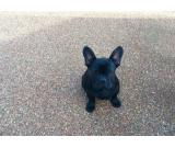 French Bulldog Black And Tan Boy