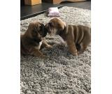 Nice and Healthy English Bulldog Puppies Available
