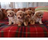 Stunning Quality Tiny Toy Maltipoo Puppies