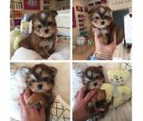 Yorkshire Terrier Puppies For Adoption 9123350747
