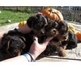 Yorkshire Terriers become attached to their families,