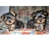 Home trained Yorkie puppies ready for a new home......