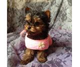 Yorkshire Terrier ready to go now