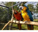blue and scarlet macaw or sale