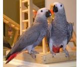 parrots and fertile parrot eggs for sale (972) 843-1704