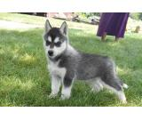HEALTHY AND CUTE Siberian Husky PUPPIES FOR SALE.