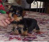 Yorkie Terrier  puppies for adoption