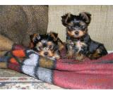 Pretty Yorkie Puppies For Sale