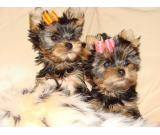.Male And female registered Yorkie  Puppies 13 weeks old, very friendly,
