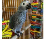 African Grey Parrots Available   Text +1 (724) 241-3049