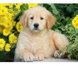 Golden Retriever Puppies For Sale Near you