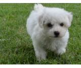 Bichon Frises make an excellent addition to the family.