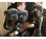 World Famous Samtan Blue Dozer Staffordshire Bull Terrier  puppies