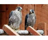 FALCONS GYR FALCONS GYR PEREGRINES PEREGRINES SAKER GYR SAKER GOLDEN EAGLE FOR SALE