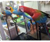 Macaws and other tame Parrots for sale