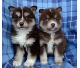 adorable Mini Pomsky puppies for sale