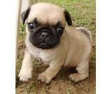 sadqwe pug puppies
