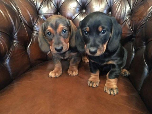 Beautifull Dachshund Puppies For Rehoming Free Classifieds Free