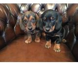 Beautifull Dachshund Puppies for Rehoming