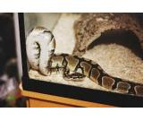 male and female ball python for sale