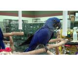 Dna Tested and Weaned parrots available with fertilized parrot eggs