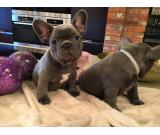 trained french bulldog puppies