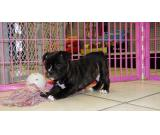 Out standing male and females French Bulldog puppies