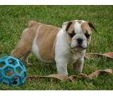 Quality English Bulldog Puppies!