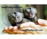 Friendly Marmoset and Capuchin Monkeys for adoption