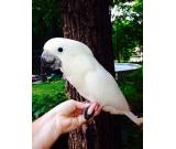 We have umbrella cockatoos available!