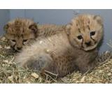 Male and Female Tiger and cheetahs Cubs for sale