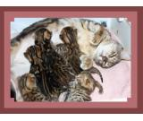 Bengal kittens in Billericay