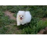 Tiny Teacup Pomeranian, Puppies For Sale