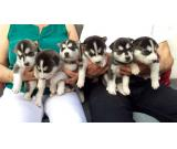 Kc Beautiful Family Bred Siberian Husky Puppies