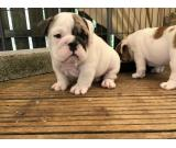 Pedigree English Bulldog Puppies NOW READY TO LEAVE
